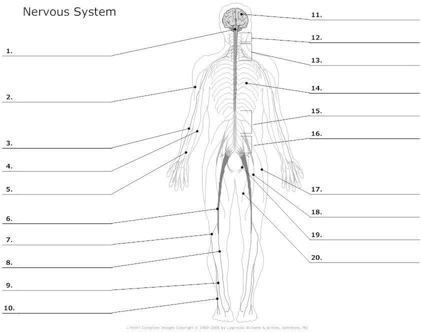 diagram of body nerves