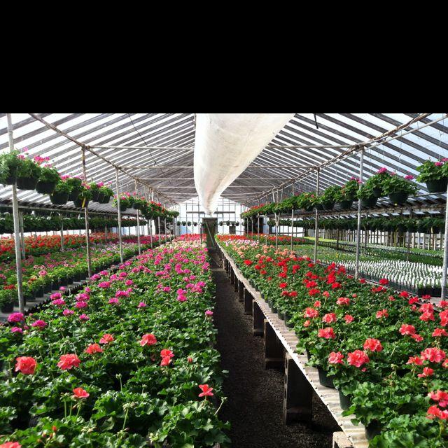 Geranium House At Hewitts Garden Center In Franklin Tn My Favorite Nursery