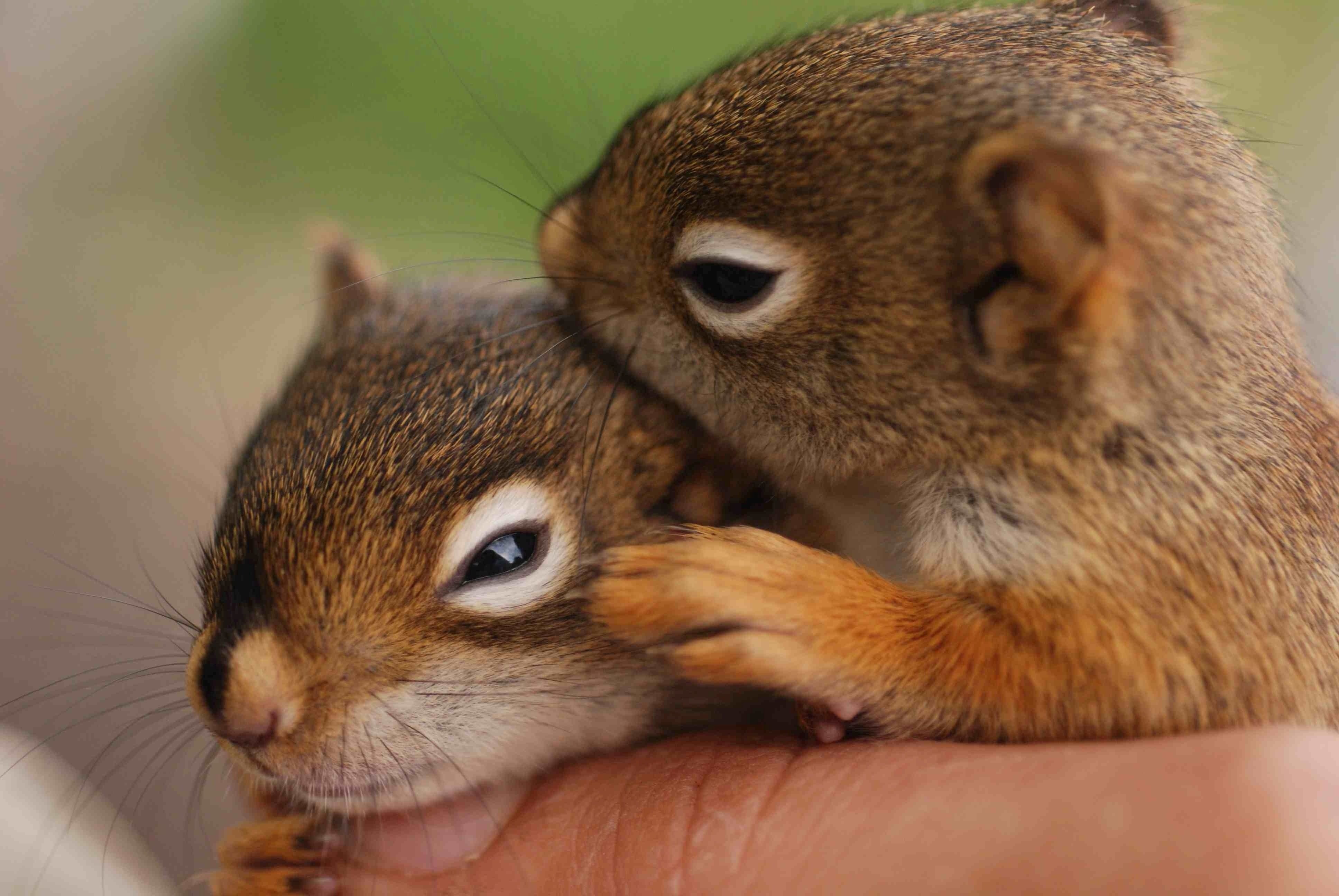 Two squirrels together in love squirrels pinterest if your home built near a fruit bearing tree vines or fruit bushes you have most likely seen squirrels happily hoarding and munching these mount geenschuldenfo Choice Image