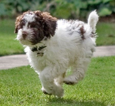 I M Coming Lagotto Doggonedogs 1 Puppy Pictures Cute Dog