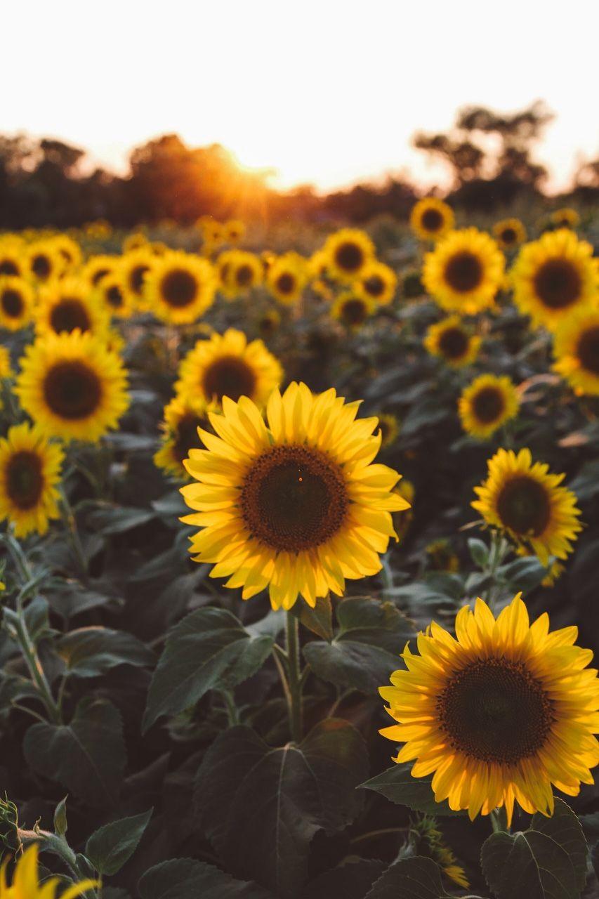 Bostonian Resolution   Sunflower iphone wallpaper, Flower ...