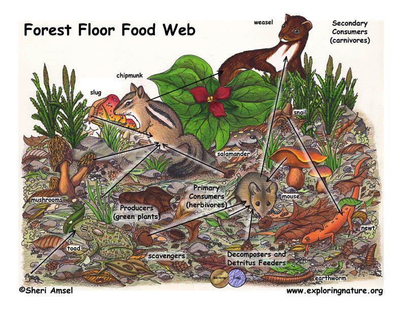 Forest Floor Food Web Food web, Ecosystems