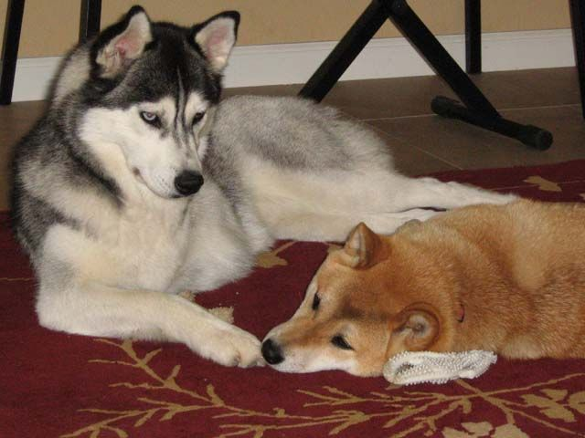 Best Friends Siberian Husky And Shiba Inu Lying Next To Each