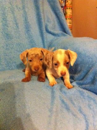 Southeasttexas Com Classifieds Results Cute Puppies Puppies