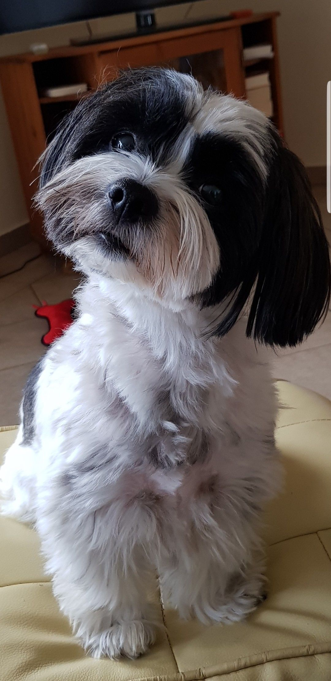 Shih Tzu Bobby Shih Tzu Pretty Dogs Cute Puppy Pictures
