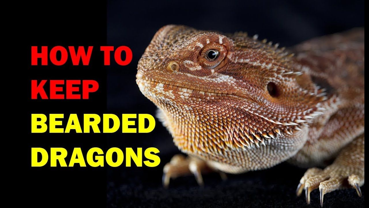How to keep Bearded Dragons Weird and Wonderful Pets