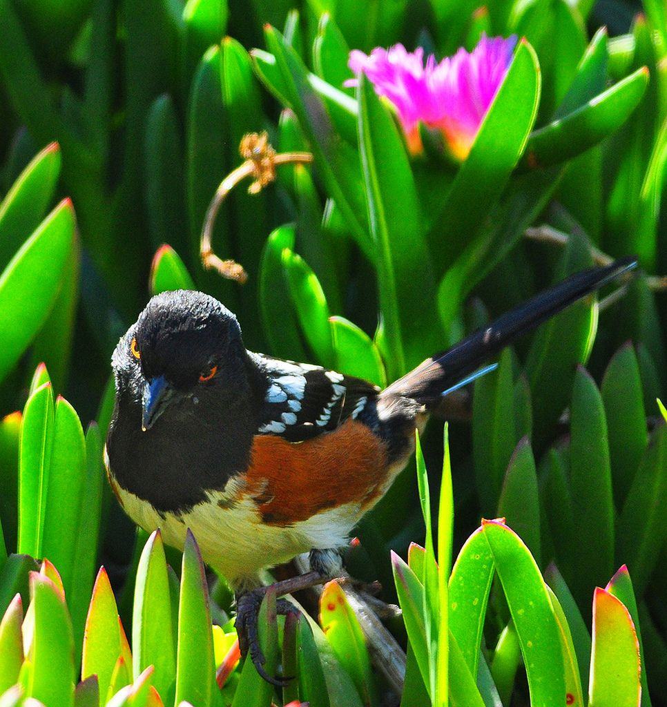 Spotted+Towhee