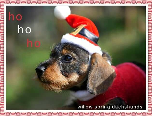 Willow Springs Dachshund Dachshund Christmas Dog