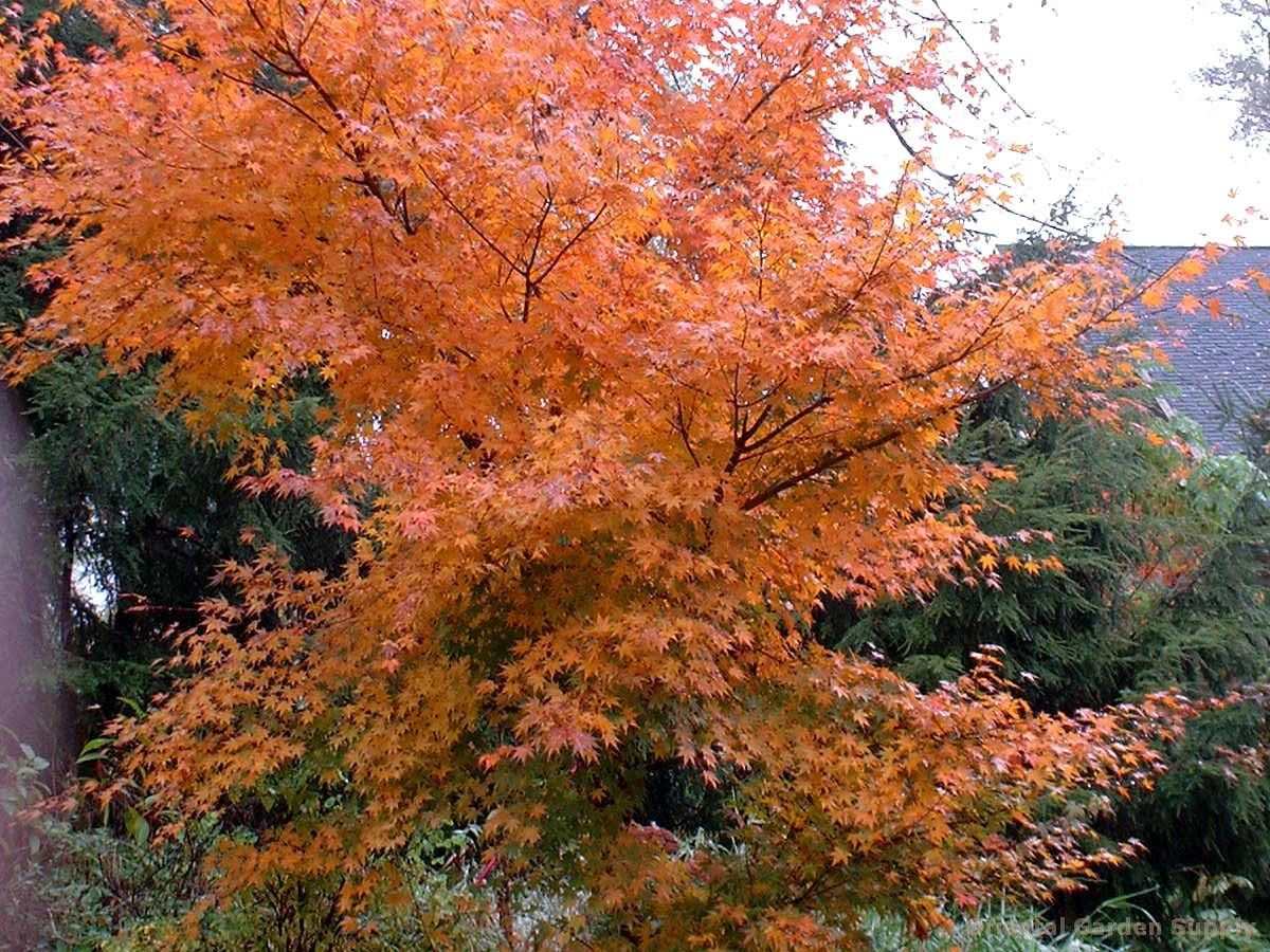 acer palmatum 'oridono nishiki' - oriental garden supply llc