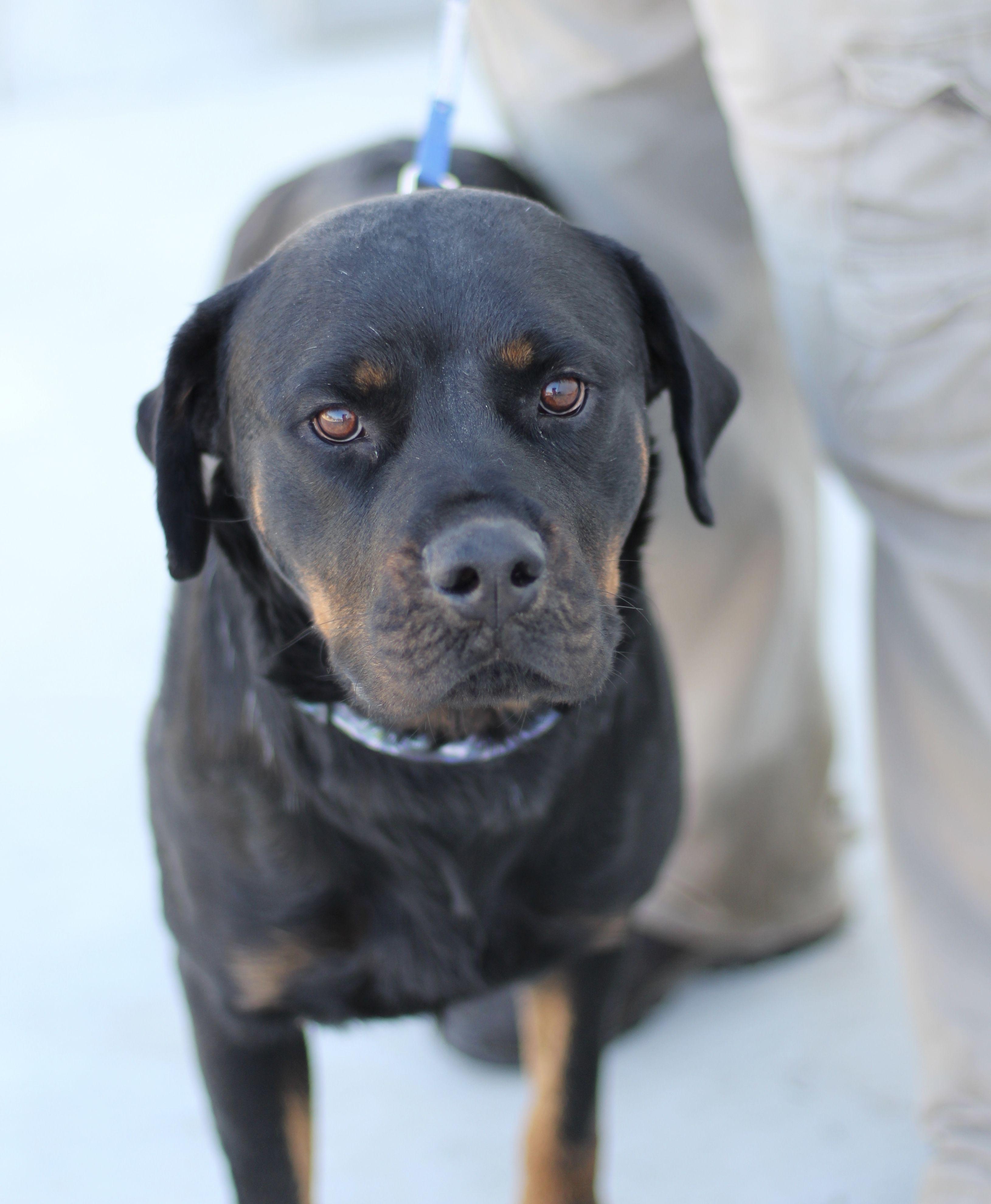 Rottweiler Dog For Adoption In Fresno Ca Adn 736499 On