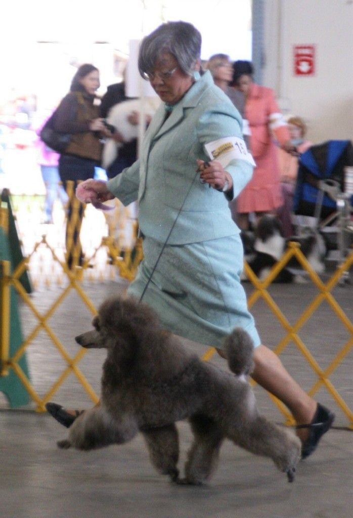 Poodle Hunting This Is A Poodle From Firebrook Poodles In South