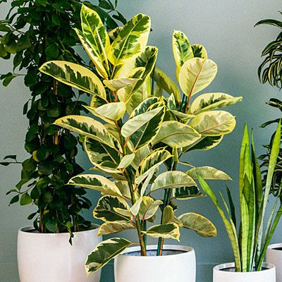 9 super chic houseplants ficus plants and rubber tree - Big leaf indoor plants ...