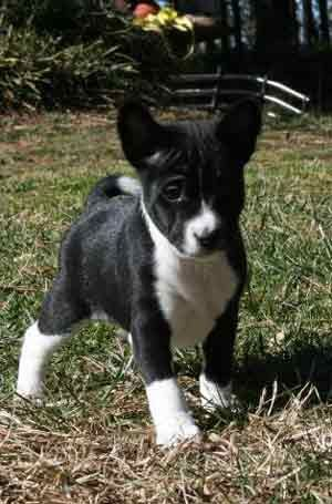 Sweet Little Black And White Basenji Pup I Wonder If This What Ivee