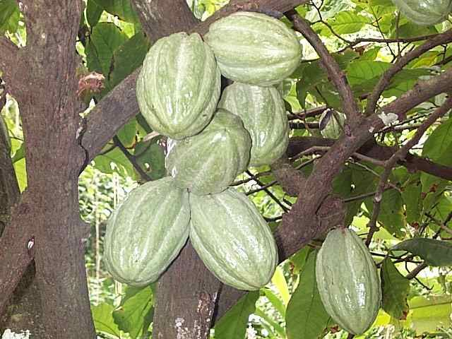 Theobroma cacao || Cacao contains over 700 compounds and the complex antioxidants found in it known as polyphenols help reduce 'bad cholesterol' and prevent hardening of the arteries.