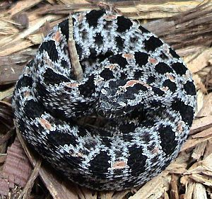 List Of Snakes Of Missouri Wikipedia The Free Encyclopedia Snake Animals Of The World Missouri