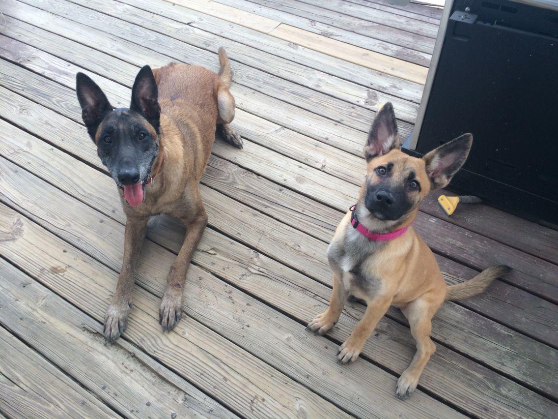 Ranger and Syxx Belgian malinois, French bulldog, Dogs