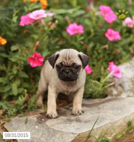 Pug Puppy for Sale in Pennsylvania Puppies for sale