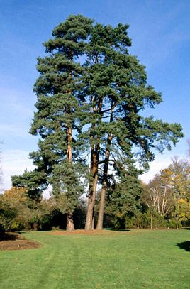 Pinus Sylvestris Scots Pine Rhs Gardening Landscape Trees Tree Outline Evergreen Trees