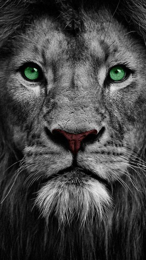 Photo of Lion Eyes iPhone Hintergrundbild