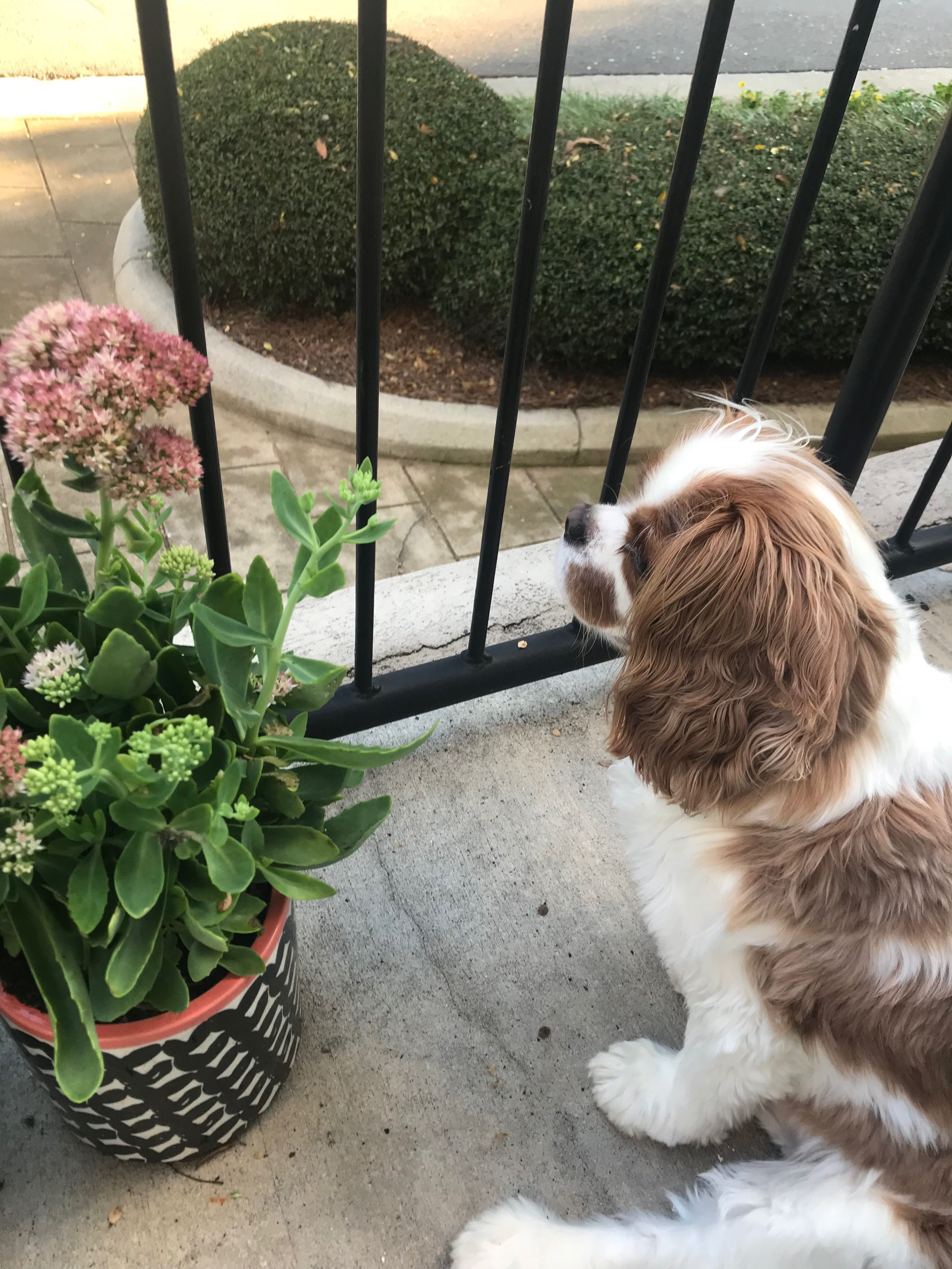 Handsome Boy Family friendly dogs, King charles spaniel