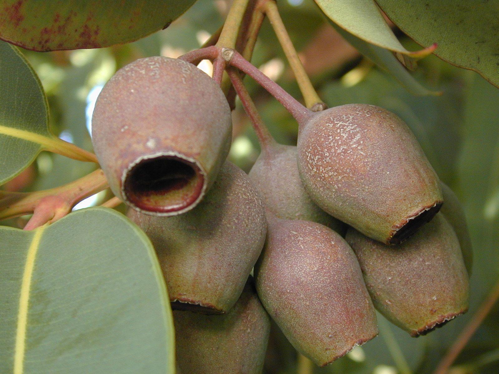 Eucalyptus Ficifolia Weird Plants Unique Plants Unusual Plants