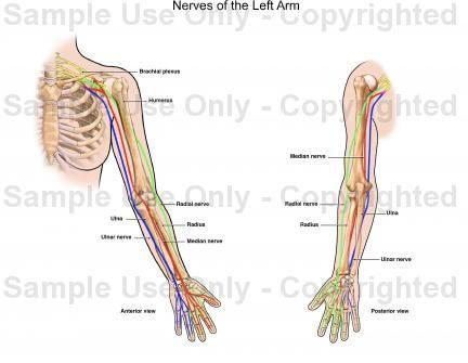Arm Anatomy Nerves Places To Visit Pinterest Anatomy Places