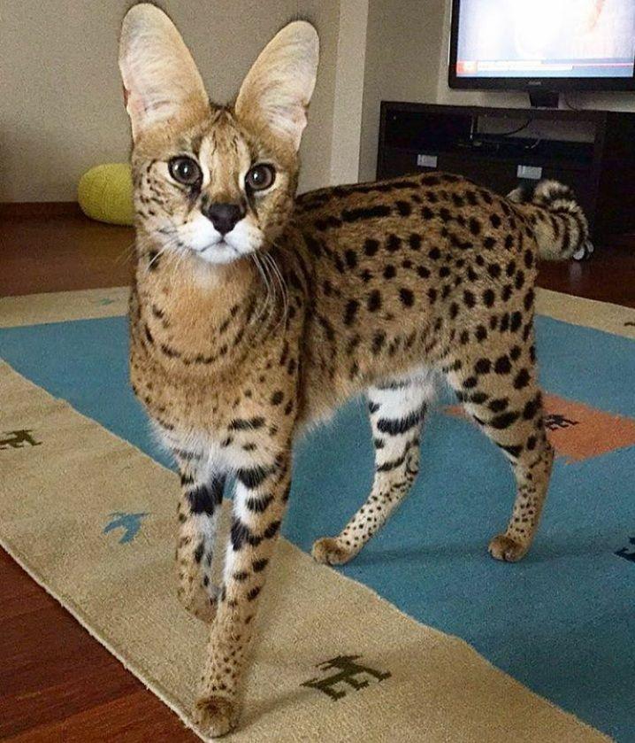 Beautiful Serval Cat Chats Exotiques Chat Leopard Jolis Chats