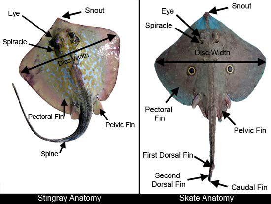 Stingray Anatomy Diagram Air Conditioning Wiring Manual | Stuff To Buy Pinterest School