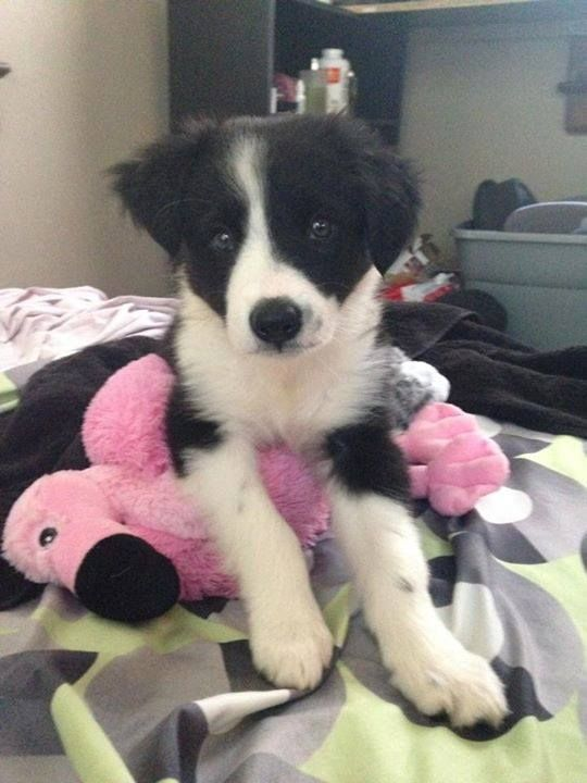 Border Collie Puppy Border Collie Puppies Collie Puppies