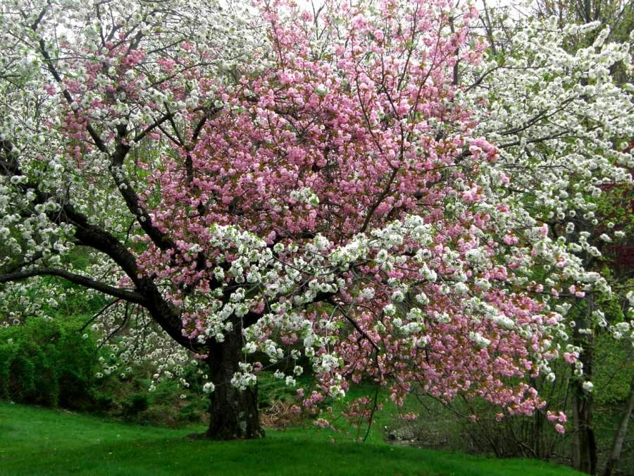 Pink And White Flowers On The Same Tree Pixdaus White