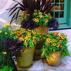 rudbeckia hirta autumn colours containers Google Search
