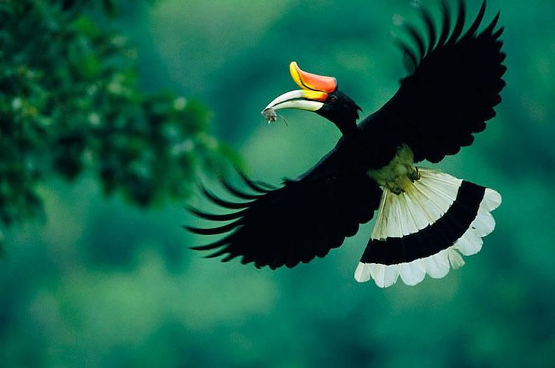 Rhinoceros Hornbill In Flight Buceros Rhinoceros Male Carrying A Mouse To The Nest Photo By Tim Laman For National Geograph Beautiful Birds Pet Birds Birds