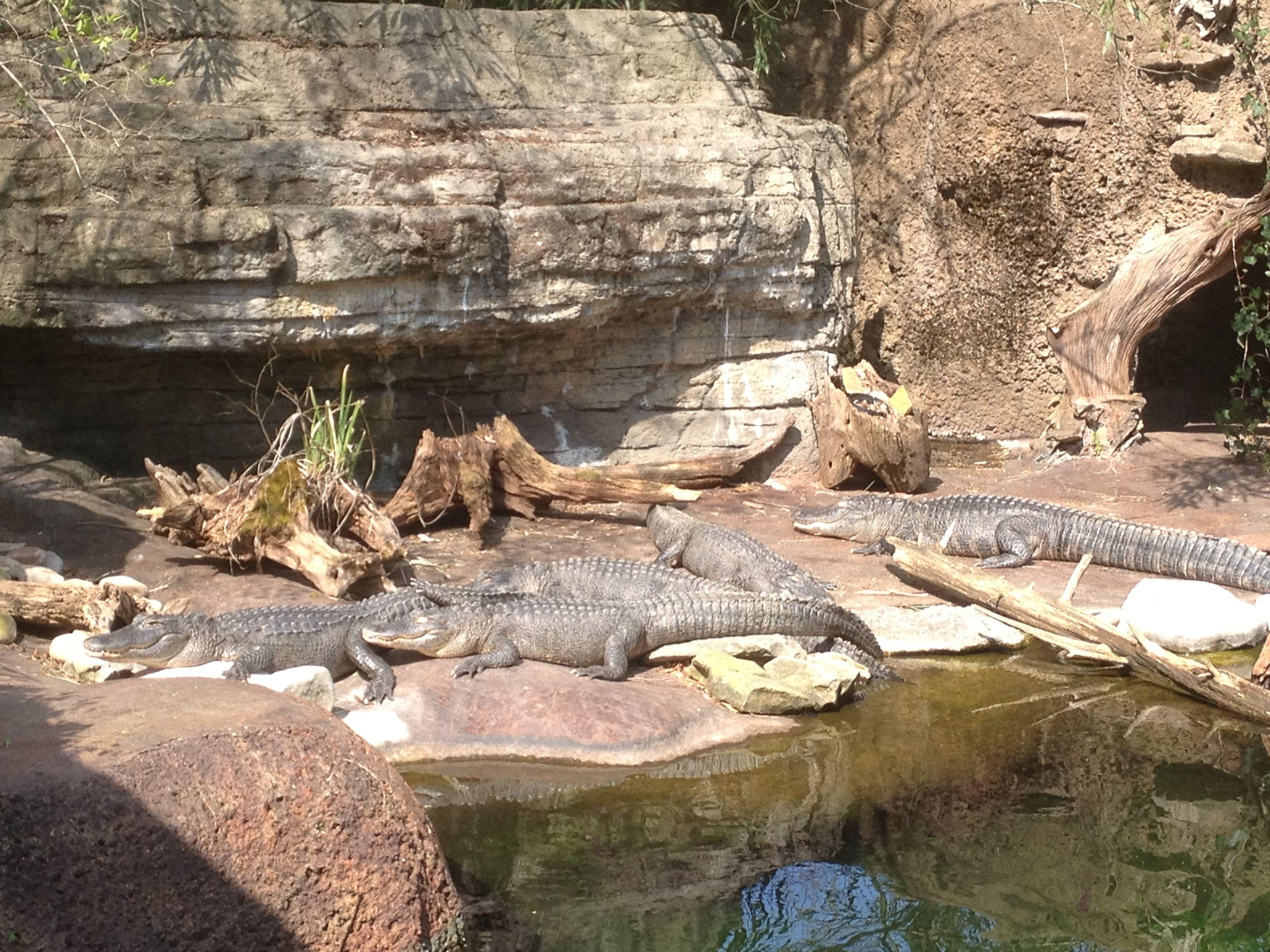 Alligators at Nashville Zoo