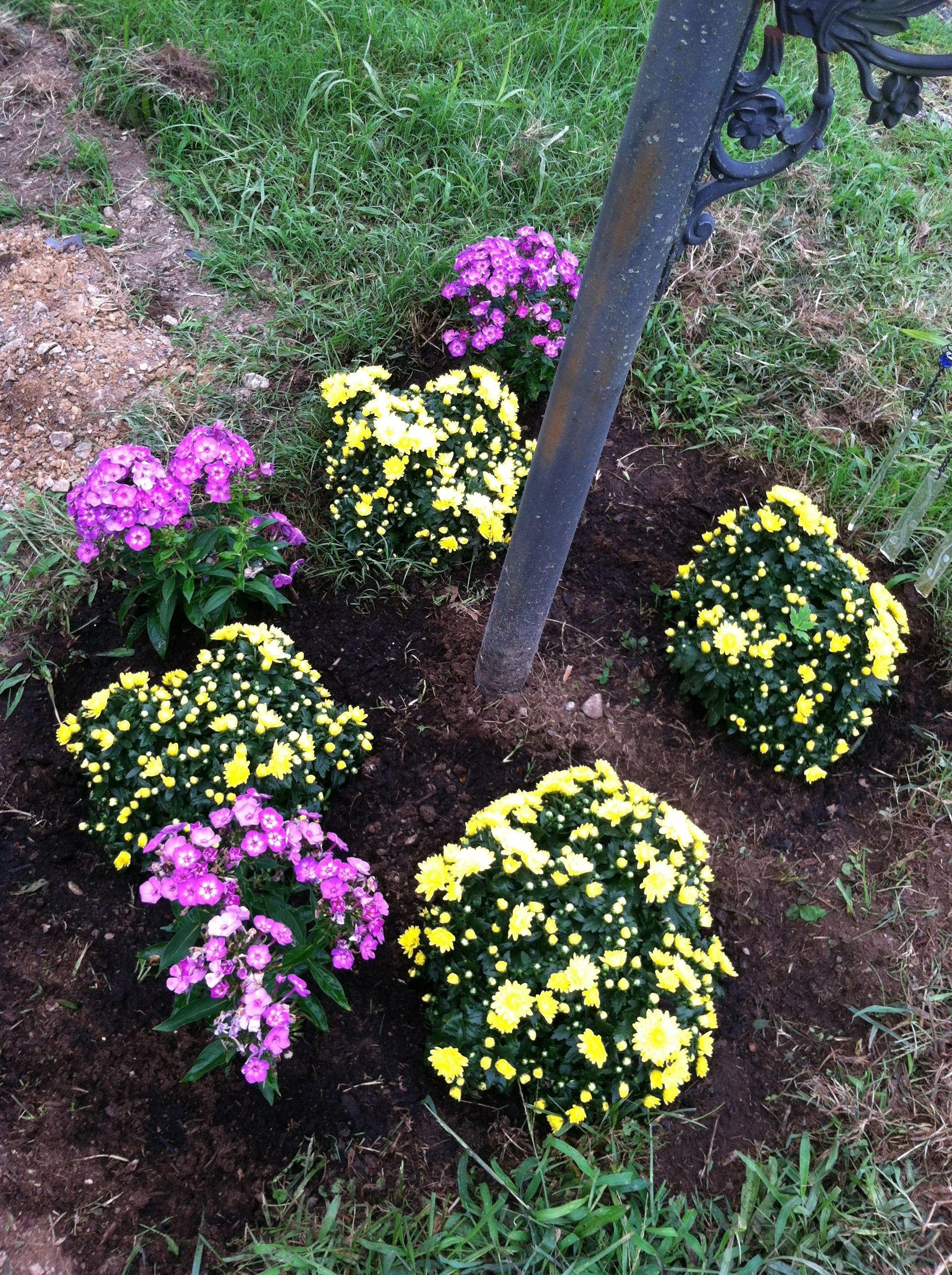 yellow sarah chrysanthemums perennials