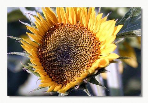 صورة وردة دوار الشمس Photo Hd Photo Plants Flowers