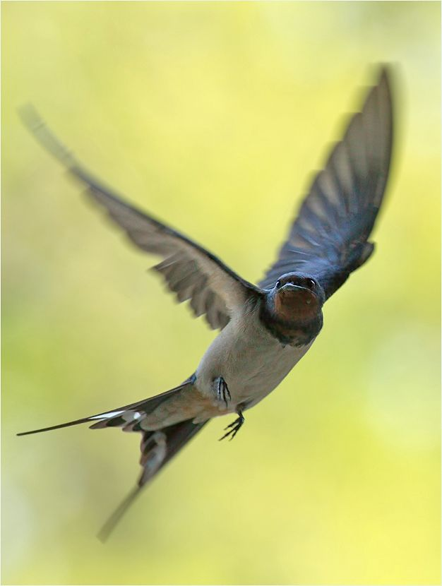 Image result for are swallows acrobatic fliers pinterest