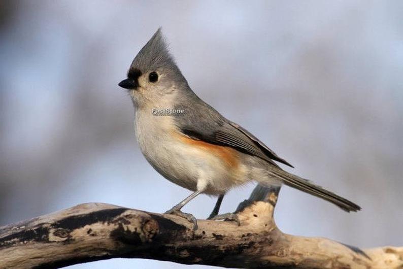 Tufted Titmouse Photo Print Bird Photography Wildlife
