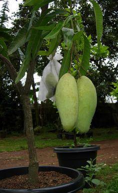 Fruit In Pot Indian Mango Puppet Mangga Golek India Taman Buah Perkebunan Sayur Kebun Sayur