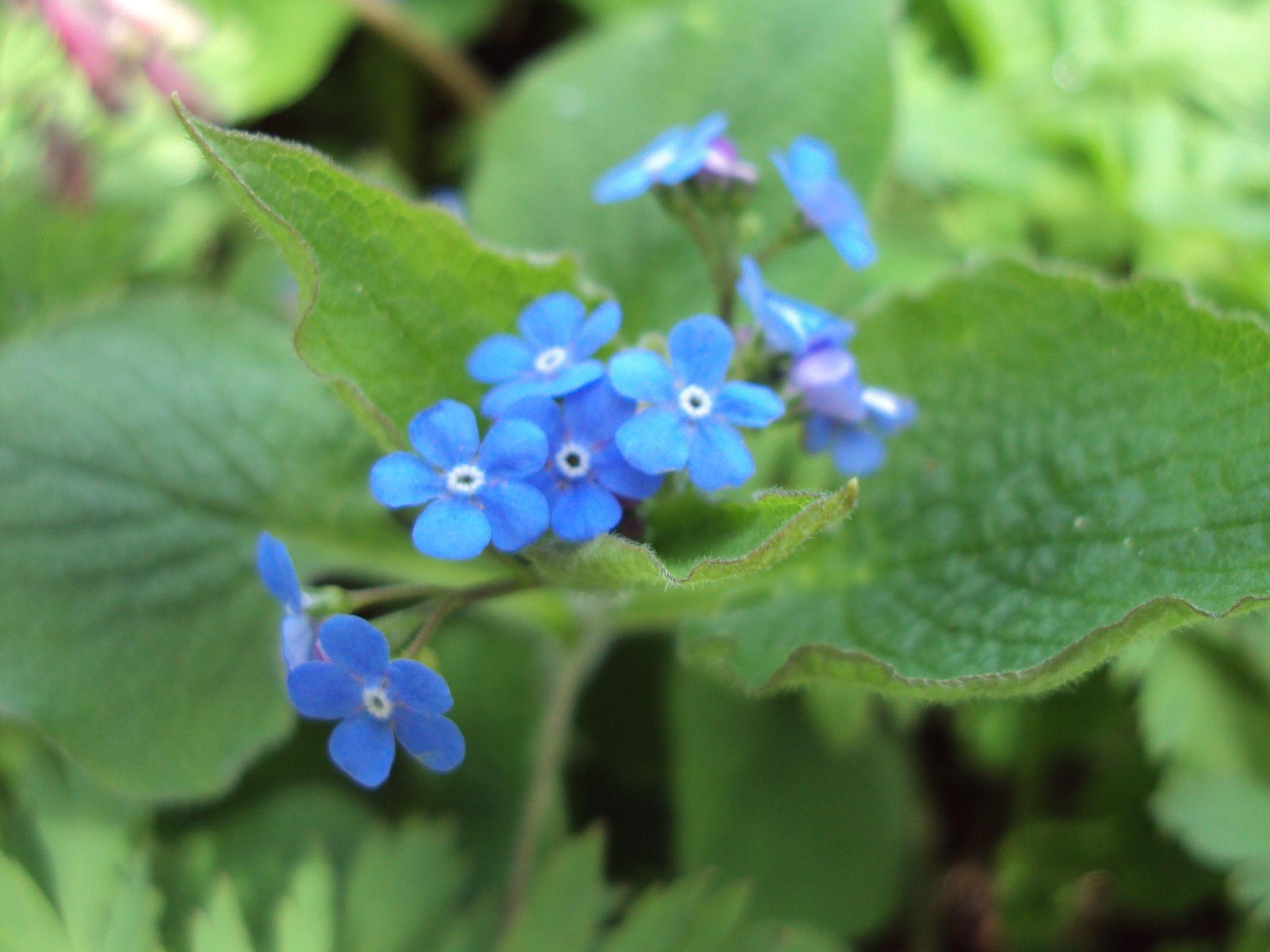 Tiny Blue Flowers Even More Flowers Pinterest Blue Flowers