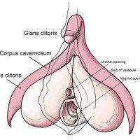 Consider, that The female clitoris