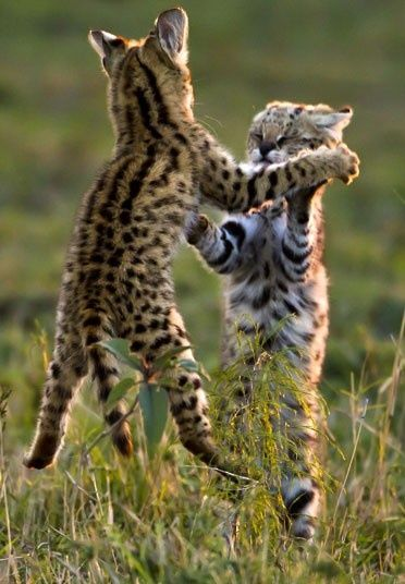 Serval Cubs Fighting