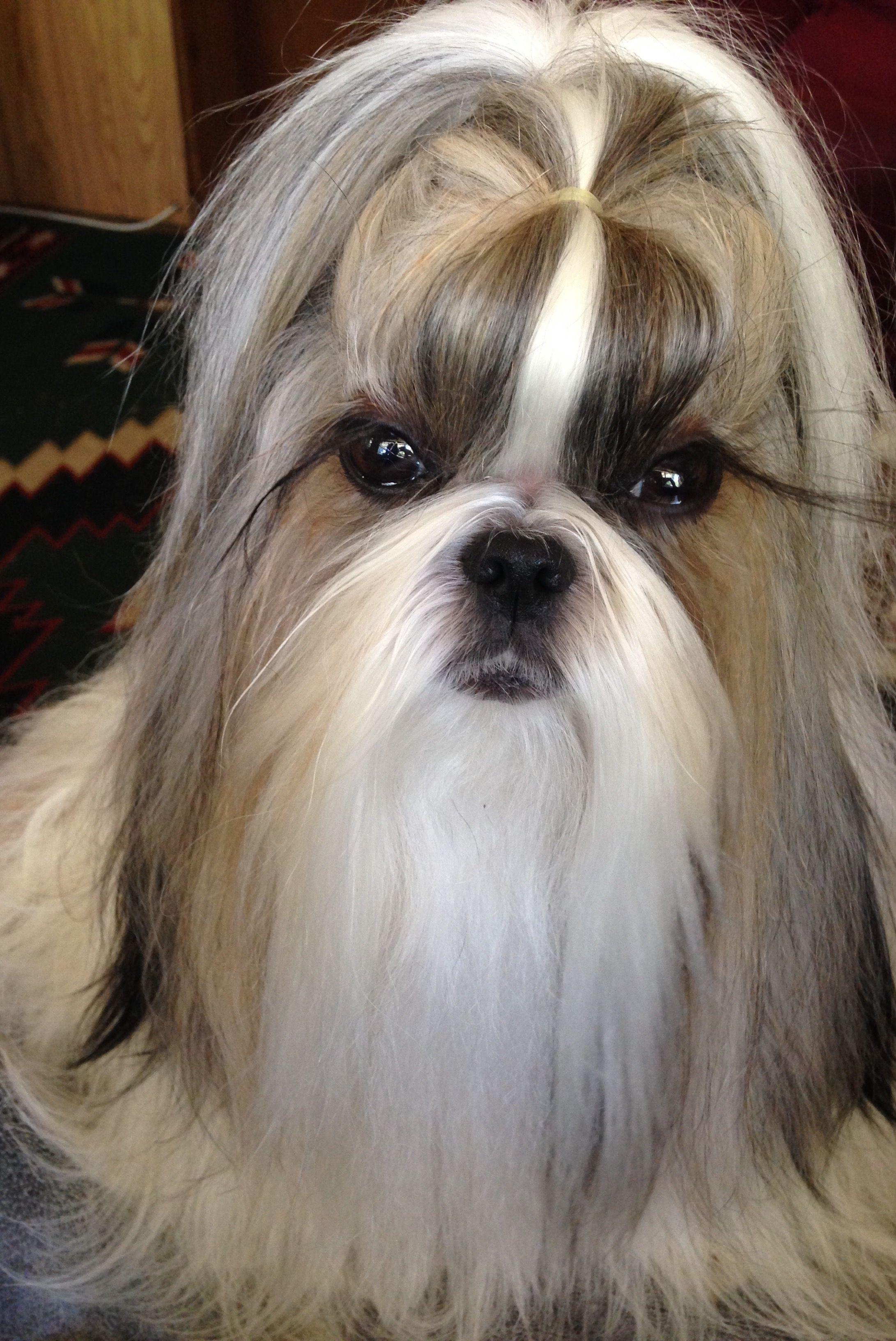 Haili Five Years Old Shih Tzu Hair Styles Shih Tzu Long Hair Shih Tzu Puppy