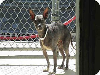Tampa, FL - Chihuahua Mix. Meet *CUPID, a dog for adoption. http://www.adoptapet.com/pet/10345775-tampa-florida-chihuahua-mix