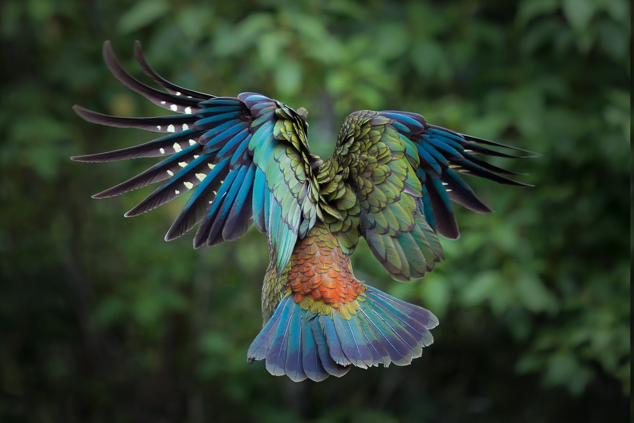 colorful birds birds, Animals, Colorful, New Zealand