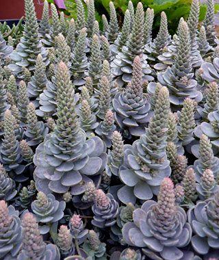 Orostachys irawenge dunce 39 s cap succulents pinterest email web - Cool succulent plants ...