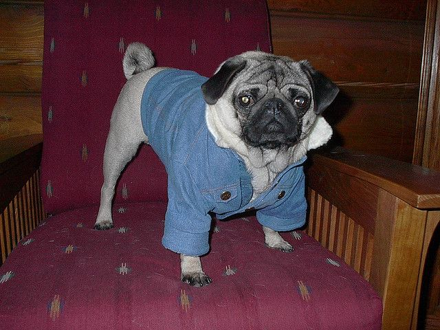 Fred The Pug In Denim Pugs Denim I Cool