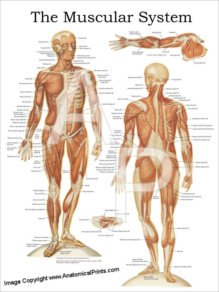The Muscular System Anatomy Poster - 18\