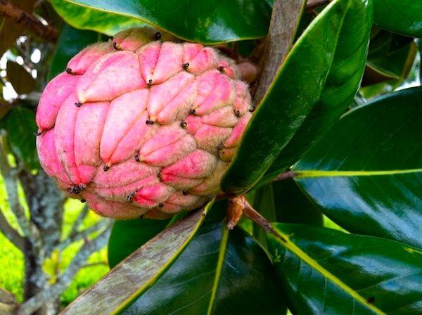 Southern Magnolia. I originally thought it was Ilama fruit, but SIGH....it's not. Beautiful Nature