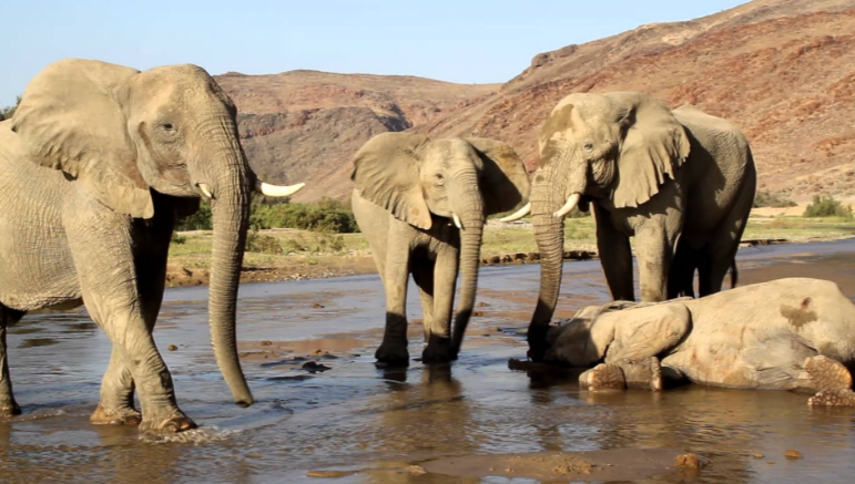 Elephants Mourn Deaths of Their Own Top Most Popular Amazing Facts About Animal Intelligence 2019