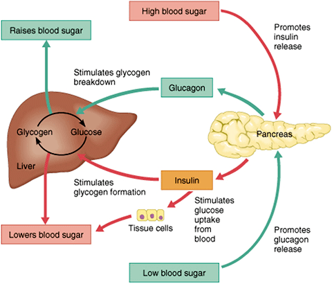 the cause of diabetes and the role of the pancreas insulin and homeostasis Insulin and glucagon are hormones that help regulate the levels of blood glucose, or sugar, in your body glucose, which comes from the food you eat, moves through your bloodstream to help fuel.